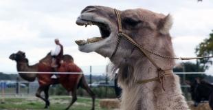 un chameau qui parle !