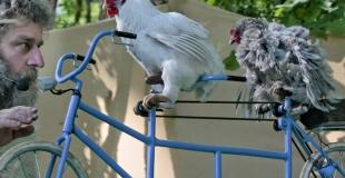 coq et poule en tandem